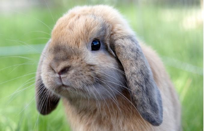 lapin-oreilles-tombantes-01-2016.jpg